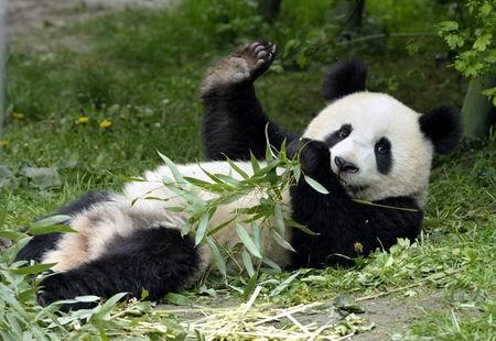 """创下生育纪录的16岁大熊猫""""龙徽""""在维也纳离世"""