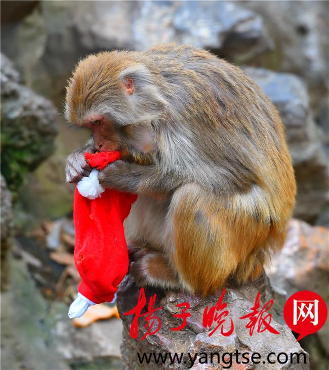 """圣诞平安夜 红山动物园的""""孙大圣""""们也加餐"""