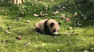 """突发疾病抢救无效 上海大熊猫母女""""帼帼""""""""花生""""离世"""