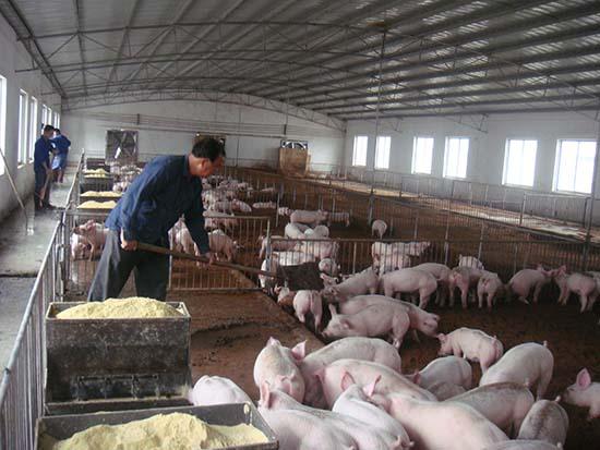 """上海两会   崇明代表:""""二师兄""""能为生态农业做贡献 不必赶尽杀绝"""