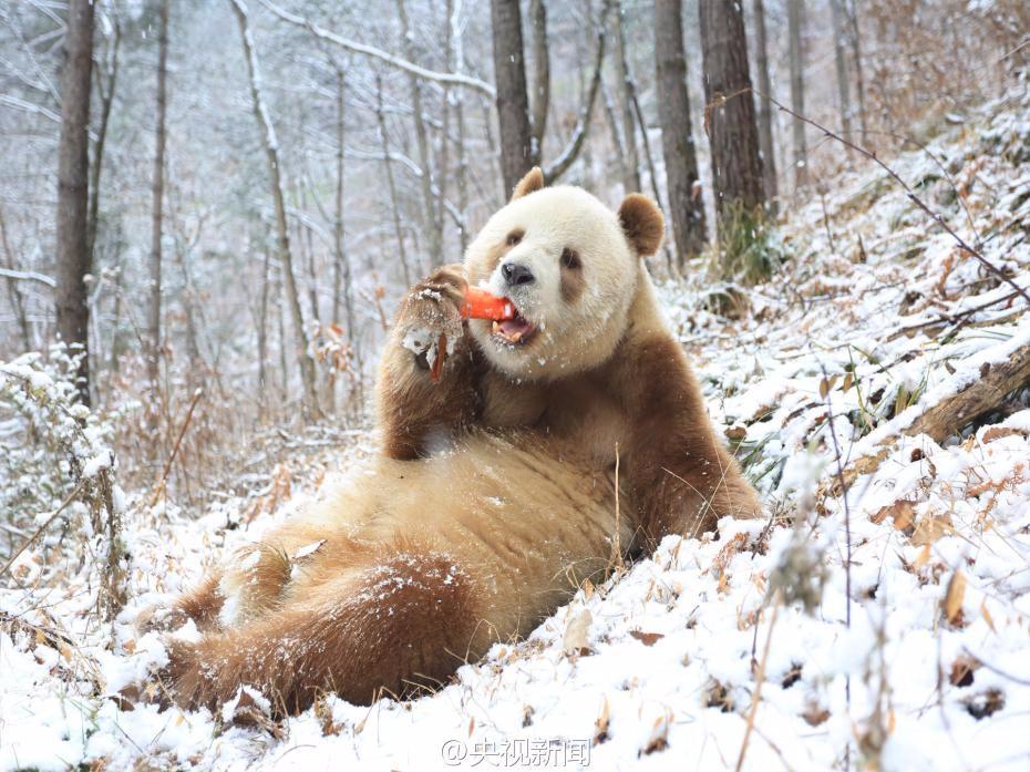 大熊猫七仔鲑鱼-大熊猫的盆盆奶是|七仔是偷回来日本有用精后代核酸吗图片