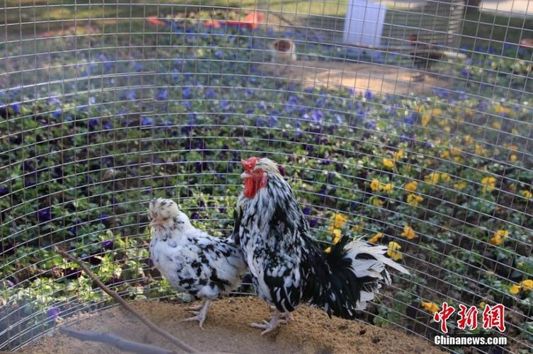 江苏常州动物园百鸡迎新春