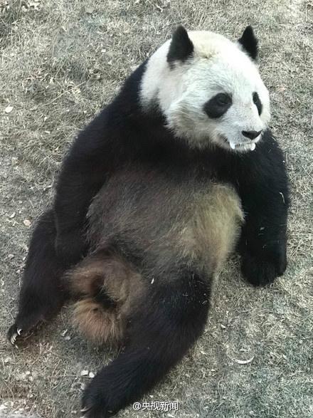 兰州官方回应熊猫口吐白沫:正常现象(图)