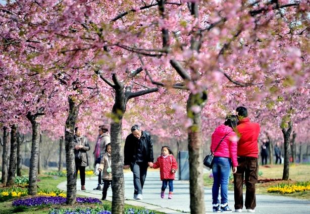 """沪上两大植物园河津樱渐次盛放 下周末或现""""粉色隧道"""""""