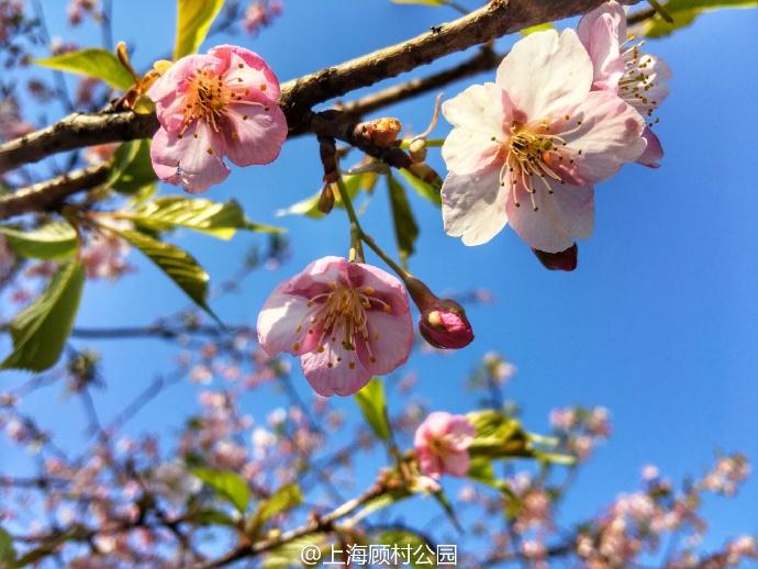 今年魔都第一波樱花已经盛开!美不胜收!