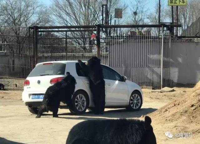北京八达岭野生动物园游览轿车遭黑熊围堵