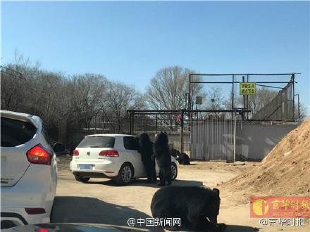 北京八达岭动物园一轿车误开车窗 黑熊围堵伸爪进车