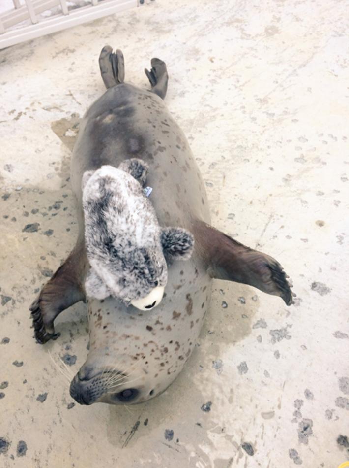 日本动物园海豹爱上迷你海豹玩偶