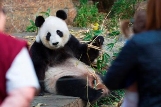 """阿德莱德动物园大熊猫""""福妮""""再次受孕失败"""