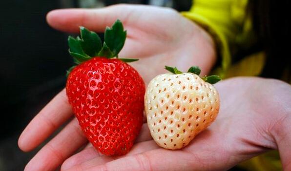 吃货注意!魔都出现一种奇怪的草莓!真是辣眼睛!