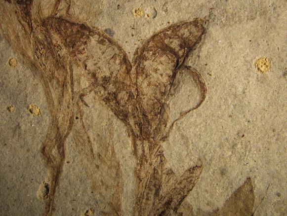 """辽宁发现1.25亿年前""""两性花"""" 被命名假人字果"""