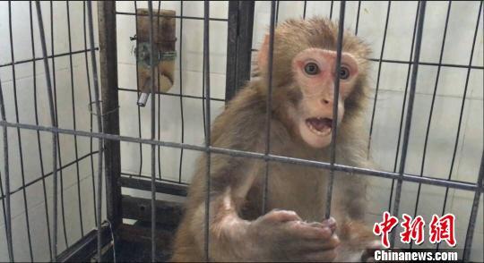 被收养的小猕猴。钟欣 摄   在吴大妈的精心照顾下,小猴伤势慢慢痊愈,并把她当作亲人寸步不离。期间,有邻居告诉吴大妈这是国家保护动物,吴大妈立刻让儿子将小猴交与森林公安民警。民警将小猴带回后,经鉴定,该猴为国家二级保护动物猕猴。目前,这只猕猴由森林公安民警暂时喂养,待找到适合猕猴生存的森林再放归大自然。   文山州森林公安局民警提示:任何单位和个人没有野生动物驯养繁殖许可证,不能擅自驯养繁育国家保护动物。同时遇到需要救护的野生动物,请及时联系专业的救护部门,切不可自行处置。野生动物有可能携带细菌和病毒,