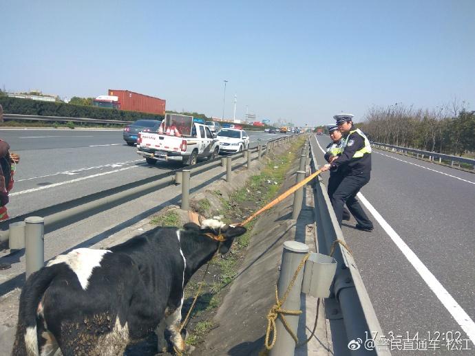 视频 | 上海警察蜀黍厉害了!管得住交通拽得动猛牛!