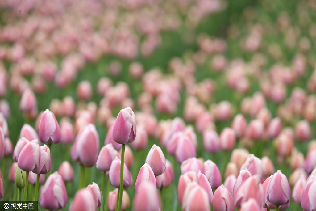 美哭了!魔都200万株郁金香、2万平米油菜花集体盛放!