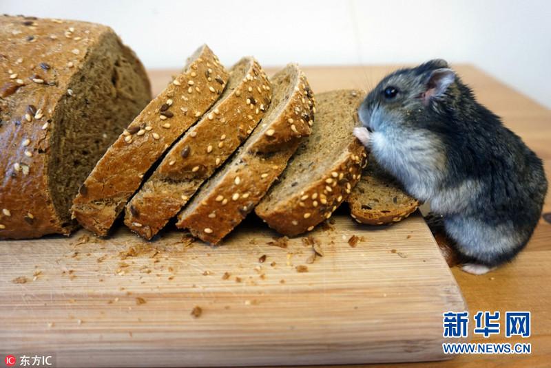 这只小仓鼠拥有自己的房子,吃饭时甚至还要用自己的小碗和小勺.