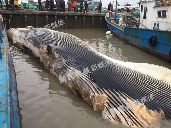 浦东老港镇附近海域发现一死亡鲸 头部缺失  身长20多米