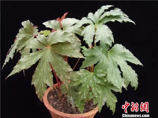 秋海棠有毒吗