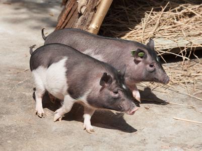 """深圳市野生动物园""""克隆猪""""首次展出图片内衣性感小女生图片"""