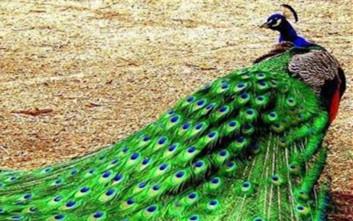丽都花园的绿孔雀