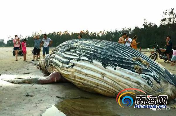 海南文昌海滩发现一头死鲸鱼 初步判断是随洋流冲上岸