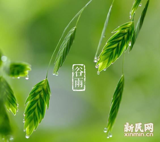 谷雨:喝春茶食春菜