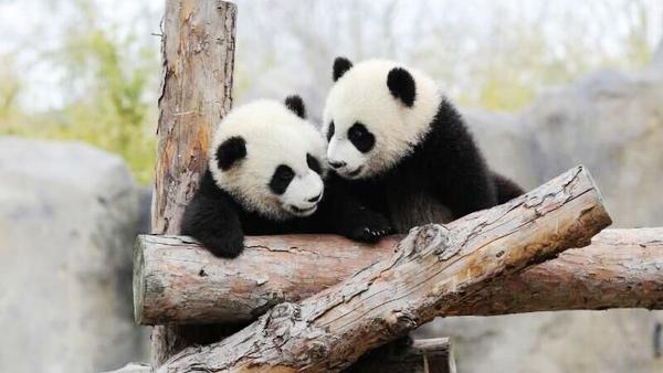 """""""月月""""和""""半半""""上海首对大熊猫龙凤胎有名字了"""