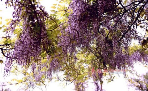 高清:青岛紫藤花儿开 紫色瀑布演绎唯美浪漫