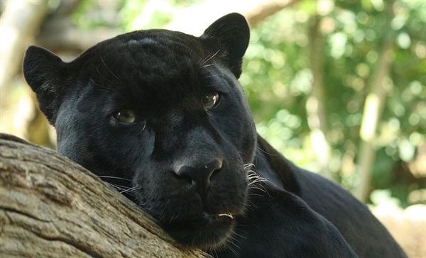 这种猫科动物拥有光滑明亮的黑色短毛