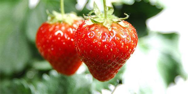 """莓""""好时光体验摘草莓乐趣"""