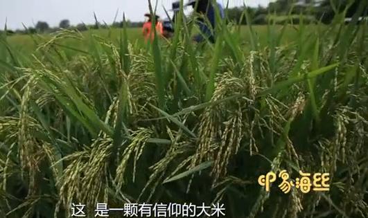 一粒有信仰的米——海丝路上稻花香