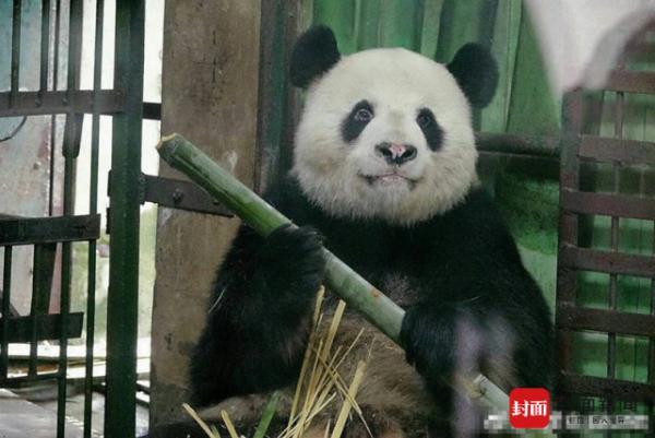武汉大熊猫伟伟鼻头变白疑场馆环境差所致 园方:确有此事
