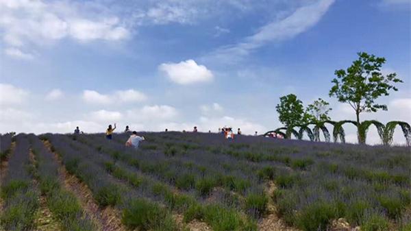 薰衣草节今天开幕 上海国际旅游度假区打造周末休闲首选地