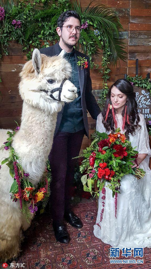 但是这些新娘们似乎并没有这样的担心,因为她们请来了羊驼来参加图片
