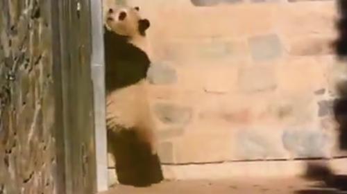 旅美大熊猫遭虐待?中国大熊猫保护研究中心辟谣