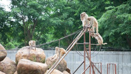 海口金牛岭动物园一只顽猴出逃 四天后落网