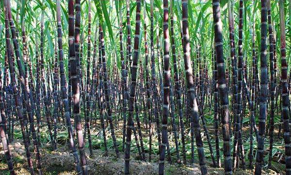 砥砺奋进的五年 | 甘蔗的逆袭