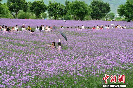 福州1万平方米柳叶马鞭草盛开 成为紫色海洋