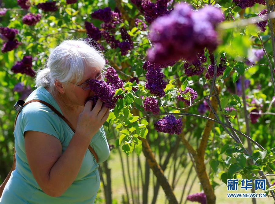 紫丁香花园花盛开