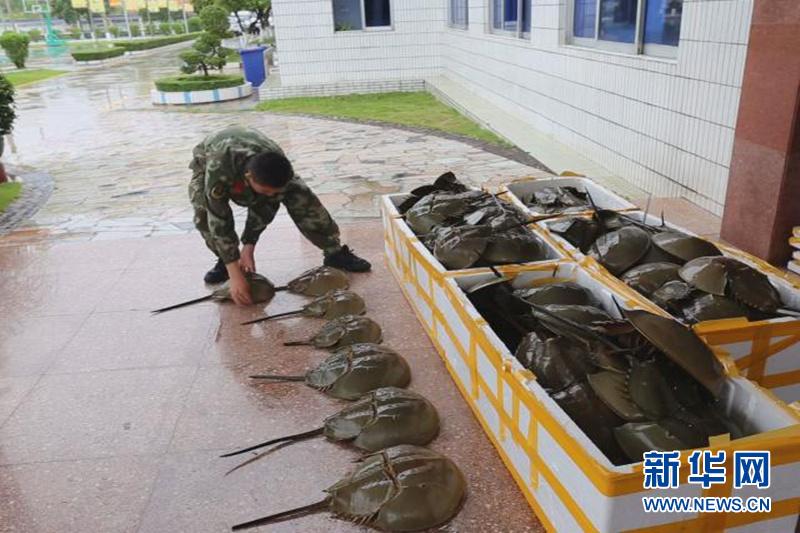 广西防城港边防查获117只国家二级保护动物中华鲎