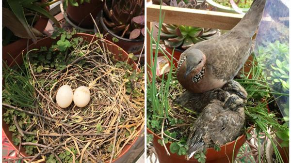 上海老爷叔自家窗口守护珠颈斑鸠3个月 见证4只小鸟诞生飞翔