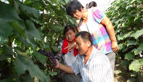 农户种植葡萄走上致富路 葡萄熟了 乐农家