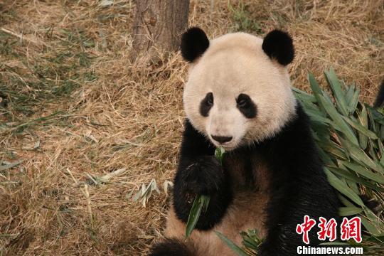 """""""晶晶""""成为首只完成""""基因组草图""""的大熊猫"""