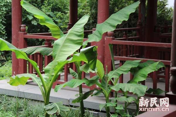 芭蕉过雨绿生凉