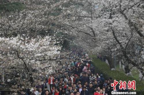 资料图:樱花节期间,武汉大学校园内游人如织,张畅 摄