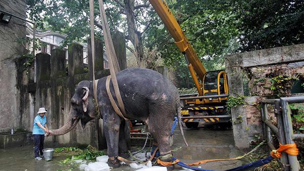 体虚加中暑 上海动物园明星大象版纳病倒急救18小时