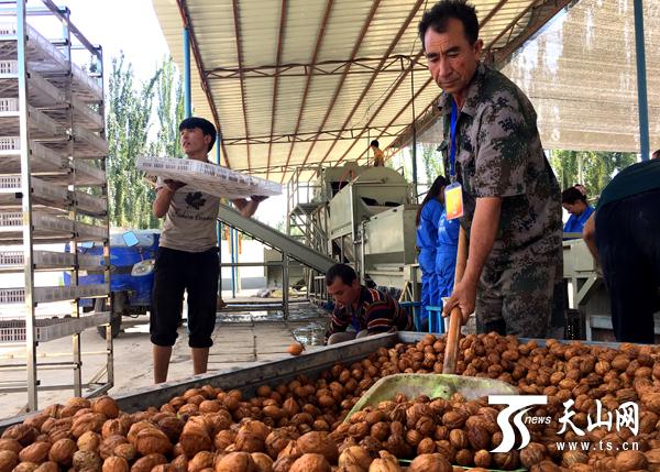 中国梦·脱贫攻坚在新疆|小核桃做出大文章