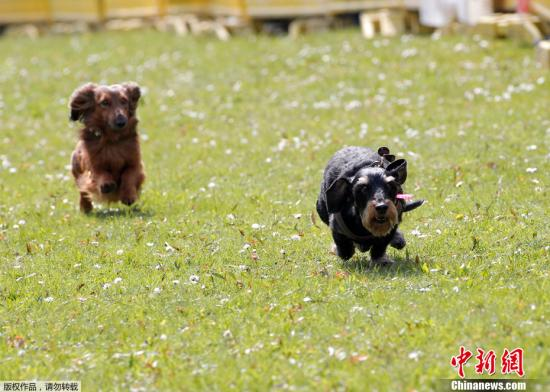 为慈善机构募款 澳大利亚年度腊肠犬比赛将开跑