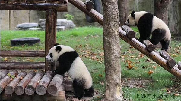 """上海野生动物园大熊猫龙凤胎""""月月半半""""下月满周岁"""