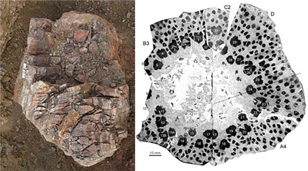 科学家在新疆发现3.7亿年前植物化石 揭远古树木生长秘密